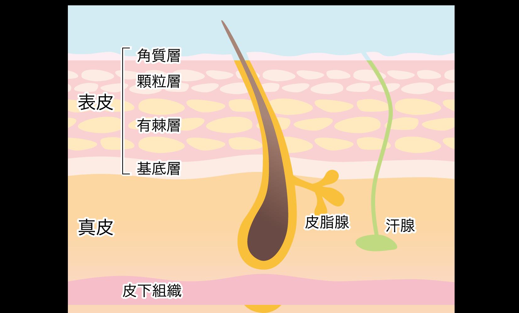 真皮の構造図