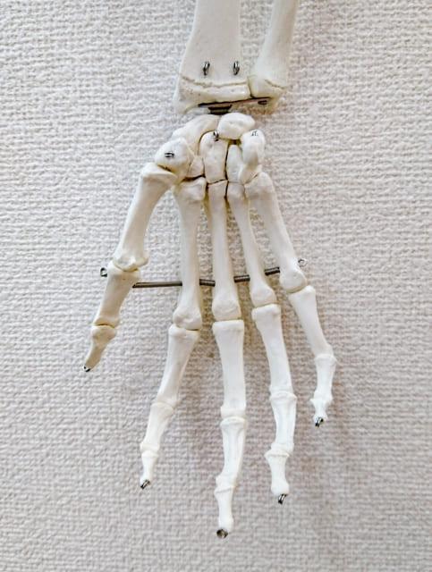 手首の構造